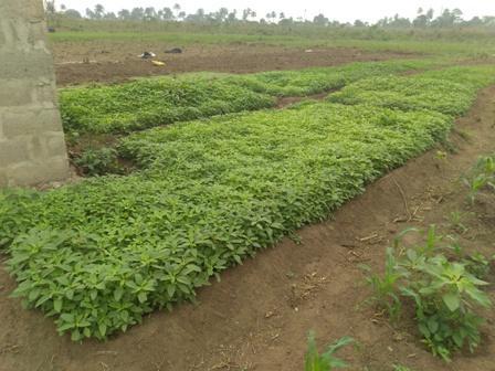 ewedu farm