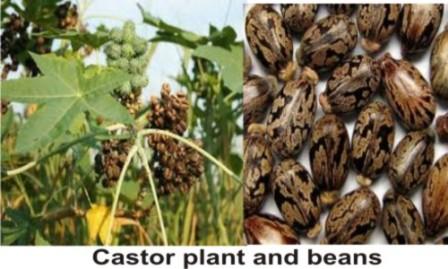most poisonous plant