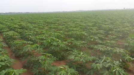 agronomic practices in cassava farm