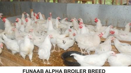 FUNAAB ALPHA BROILER BREED