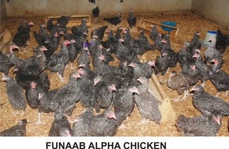 FUNAAB ALPHA CHICKEN