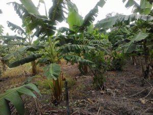 bacterial diseases in plants