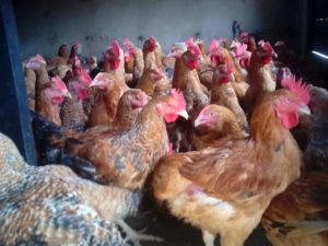 noiler chicken breeds with picture