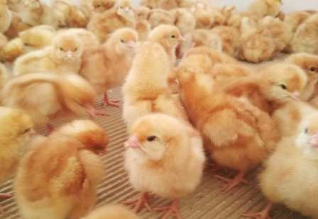 picture of day old chicks