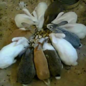 rabbit urine