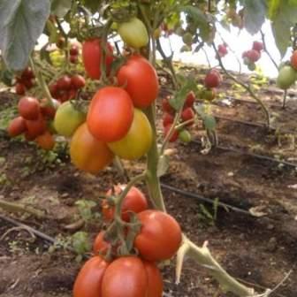 ripe tomato plant