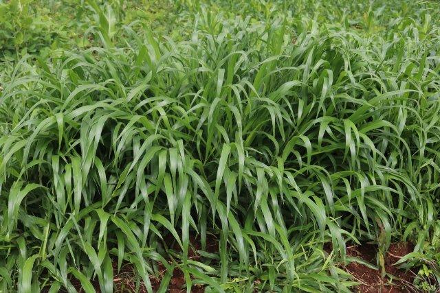Brachiaria grass
