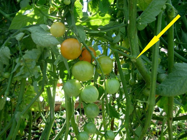 pruning of tomato picture