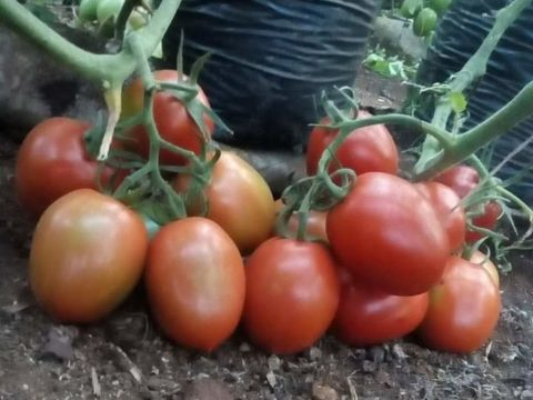 big tomato fruits