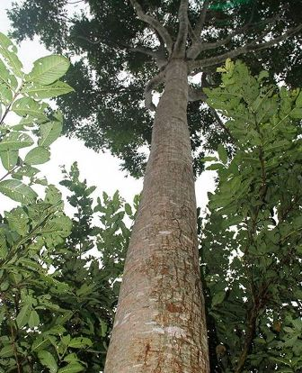 Khaya senegalensis, plant