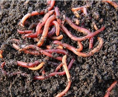 Vermicomposting earthworms