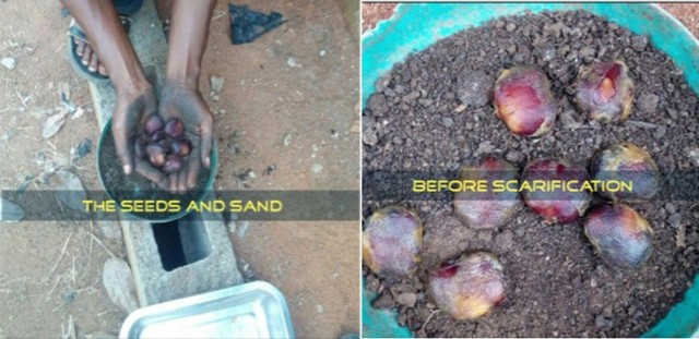 ugu seeds treatment