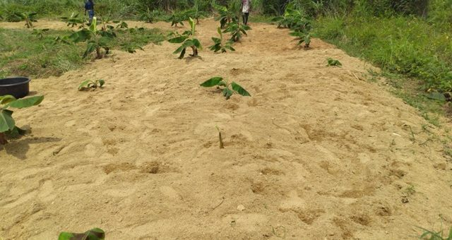 plantain farm with sawdust mulch